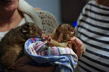 Rimg Tail Possum babies